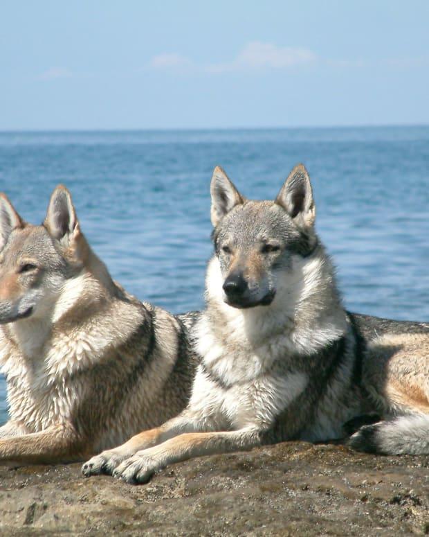 wolfdogs