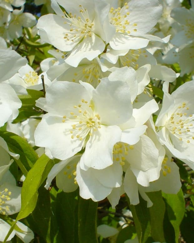 three-best-gorgeous-jasmine-perfumes-for-women