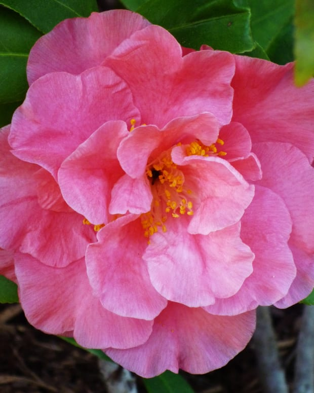 pizzaz-and-wow-factor-of-using-camellias-in-outdoor-landscaping