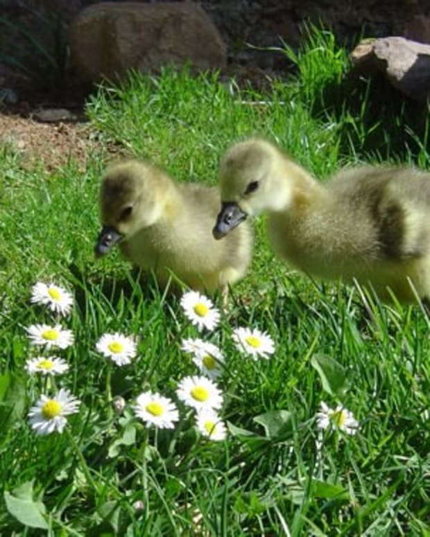 how-to-care-for-geese-natures-natural-ecological-lawn-mowers