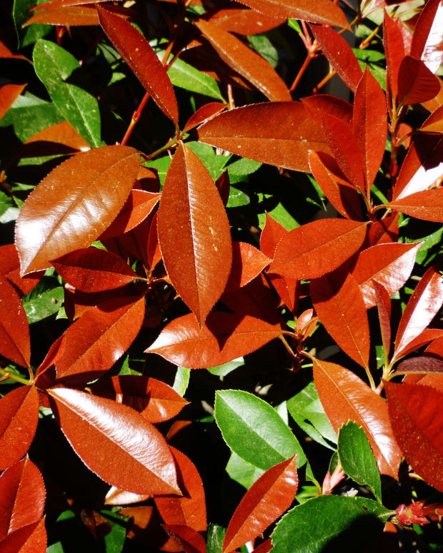 outdoor-landscaping-using-red-tip-photinias-good-idea