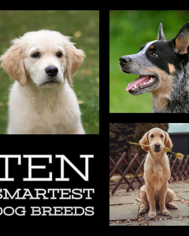 top-ten-smartest-dog-breeds
