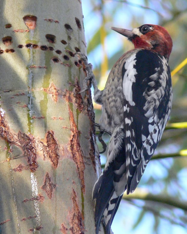 woodpeckers-how-to-fix-and-prevent-damage