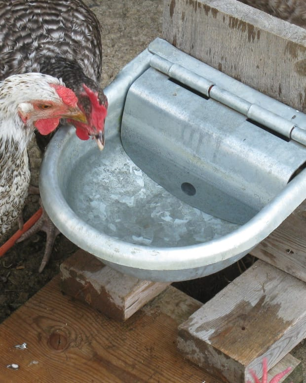automatic-waterer-for-your-free-ranging-chickens-coup-chicken-coup-free-range