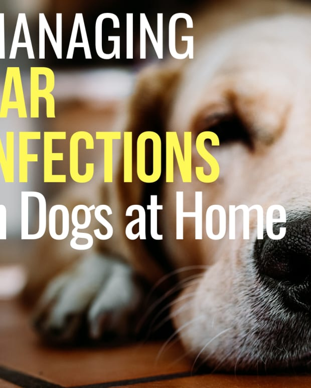 how-to-treat-a-dogs-ear-infection-without-vet-help