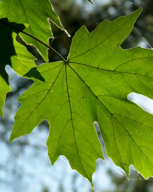 how-to-grow-big-leaf-maple-trees-from-cuttings