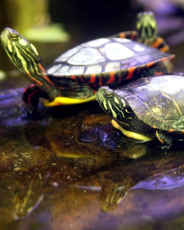 Red Eared Slider Turtle Care Tank Setup Feeding And Upkeep Pethelpful By Fellow Animal Lovers And Experts