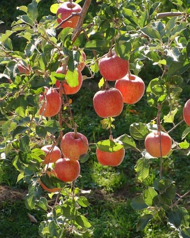 how-to-grow-fuji-apple-trees