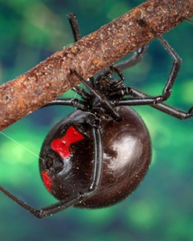 the-patriotic-black-widow-spiders-of-world-war-ii