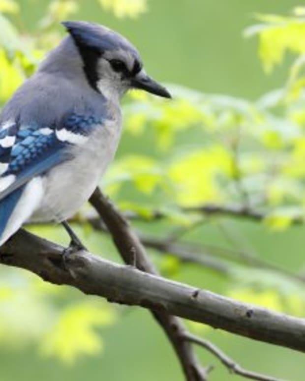 blue-jays-clever-mimics-of-the-bird-world