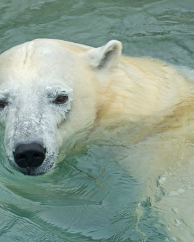 interesting-facts-about-polar-bears