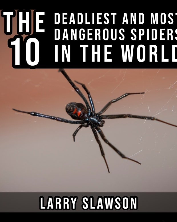the-10-deadliest-and-most-dangerous-spiders-in-the-world