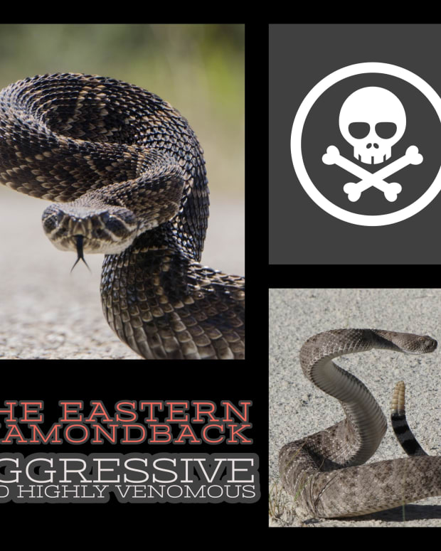 the-eastern-diamondback-aggressive-and-highly-venomous