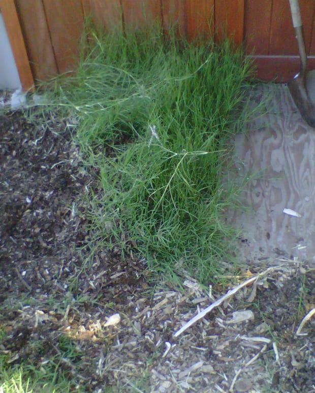 removing-bermuda-grass-organically