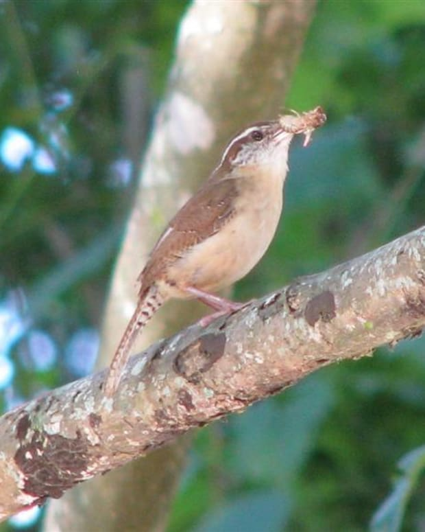 pictures-birds-carolina-wren-babies