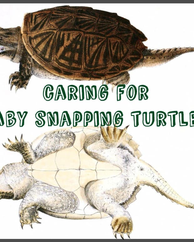 how-to-care-for-baby-snapping-turtles