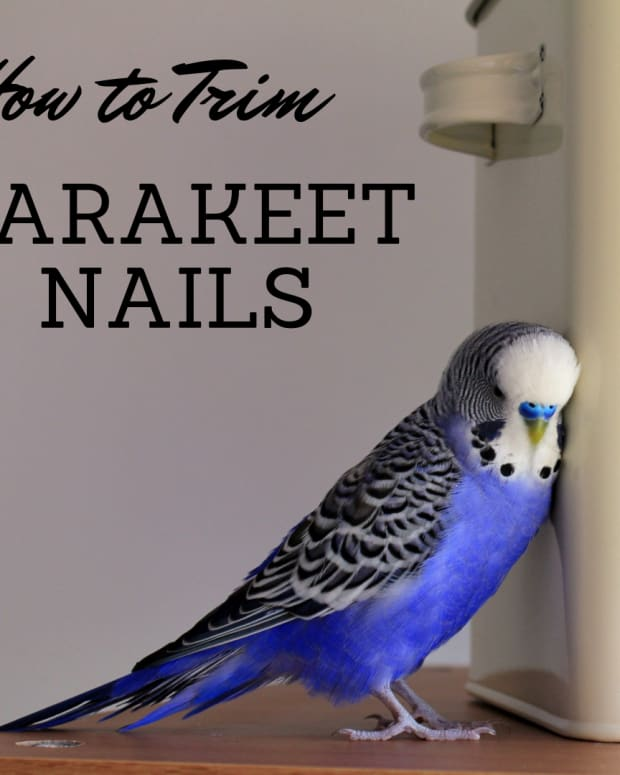 how-to-clip-a-parakeets-claws