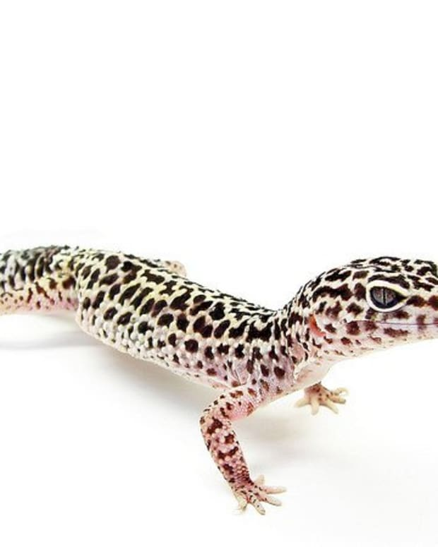 geckos-101-the-leopard-gecko