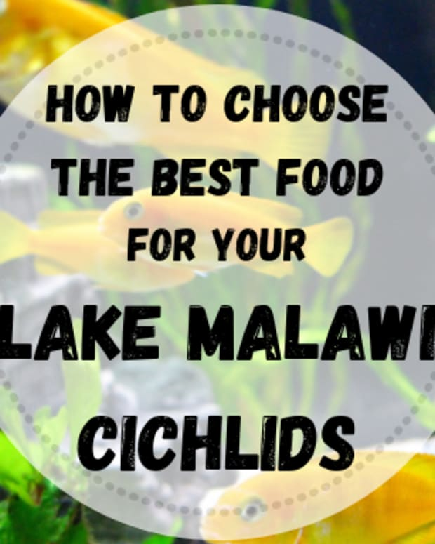 lake-malawi-cichlids-6-the-right-nutrition-for-african-cichlids