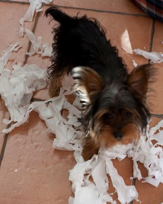 my-terrier-is-destructive-how-to-stop-a-terrier-from-ripping-up-your-possessions
