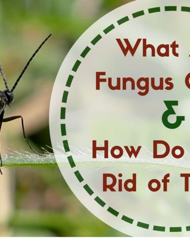 fungus-gnats-all-you-need-to-know