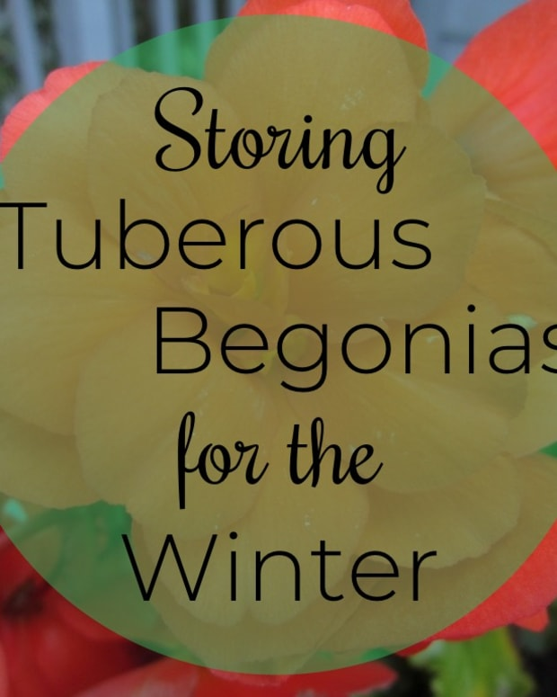 tuberous-begonias-how-to-store-for-the-winter-and-restart-in-the-spring