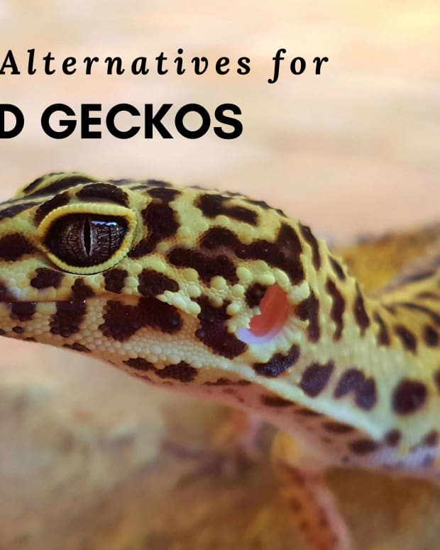 keeping-leopard-geckos-in-tubs