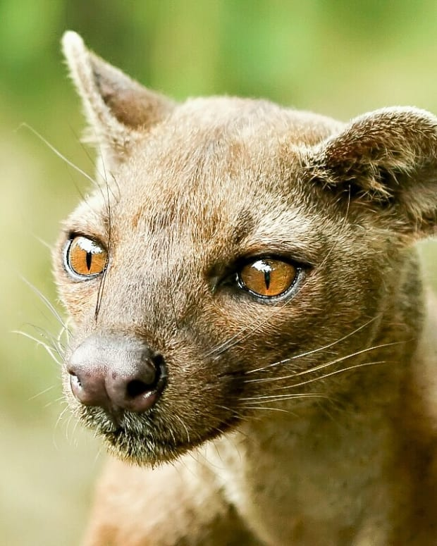the-madagascan-fossa-a-cat-like-mongoose-relative