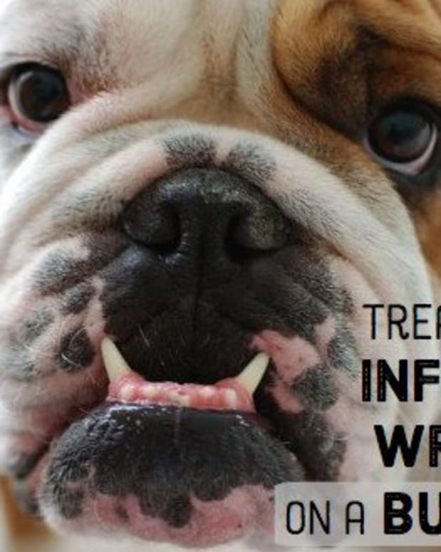 how-to-cure-a-bulldogs-infected-wrinkle