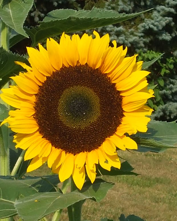 7-mistakes-to-avoid-when-harvesting-and-roasting-sunflowers