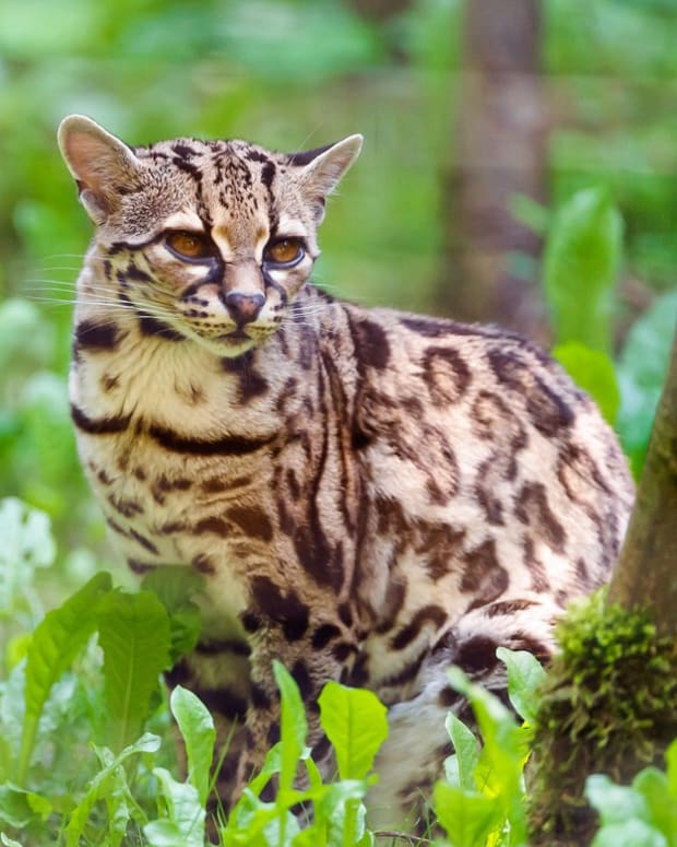 the-margay-a-wild-tree-cat-of-central-and-south-america