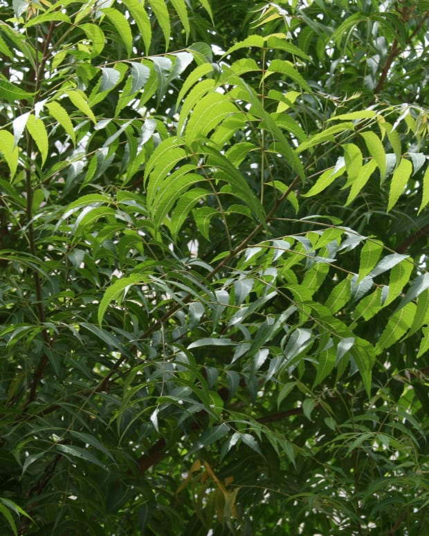 neem-natural-pesticide