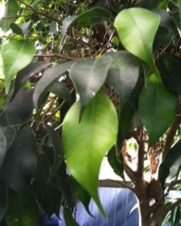 house-plant-with-faded-yellowing-leaves-and-green-veins-chlorosis-may-be-the-problem