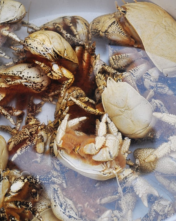 yeti-crabs-hairy-crustaceans-hydrothermal-vents-and-bacteria-farms