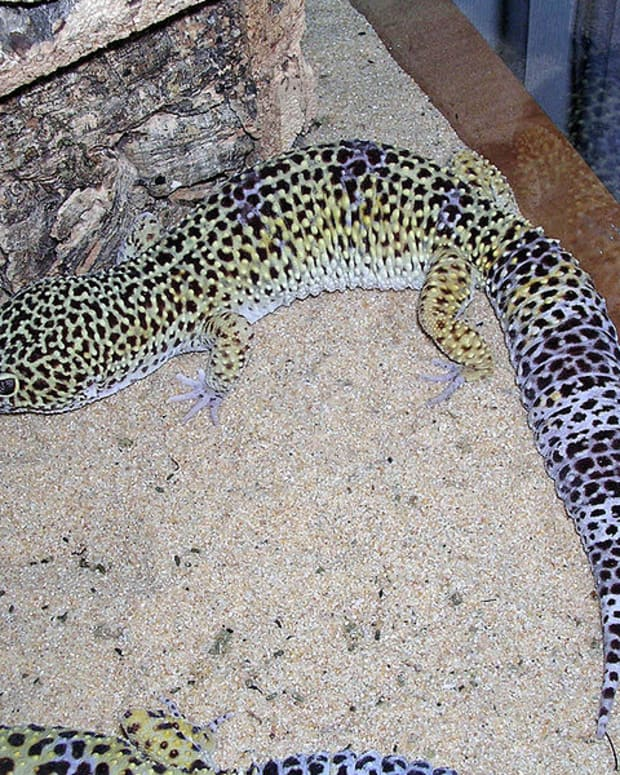 the-differences-between-african-fat-tails-and-leopard-geckos