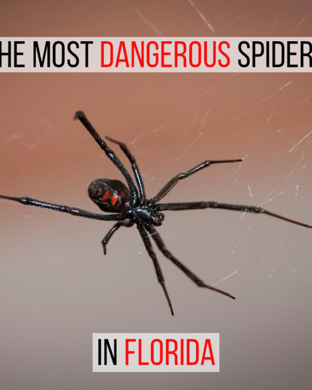 the-most-poisonous-spiders-in-florida