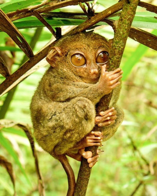 the-tarsier-a-strange-and-endangered-primate-in-southeast-asia