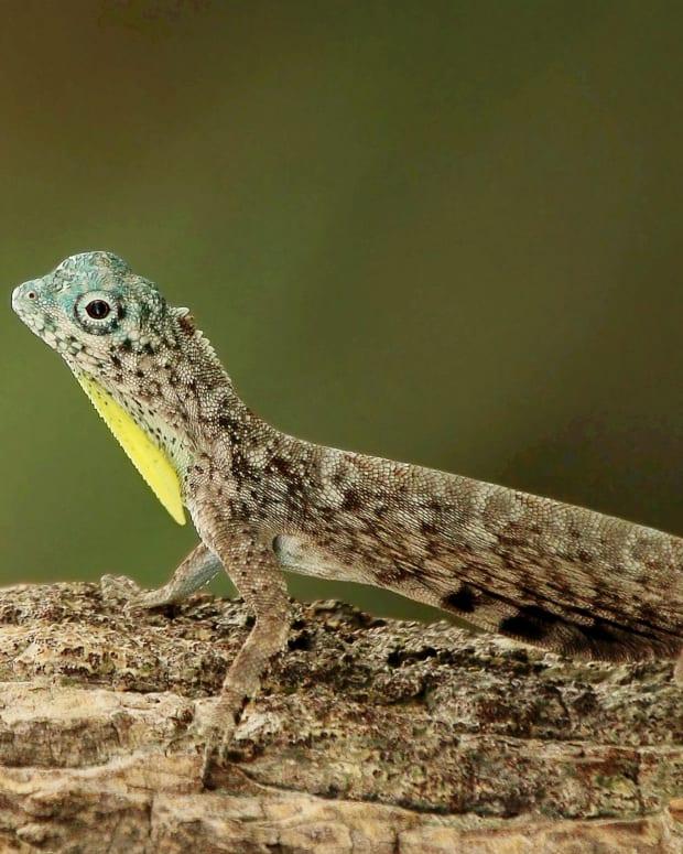 draco-lizards-or-flying-dragons-strange-rainforest-reptiles
