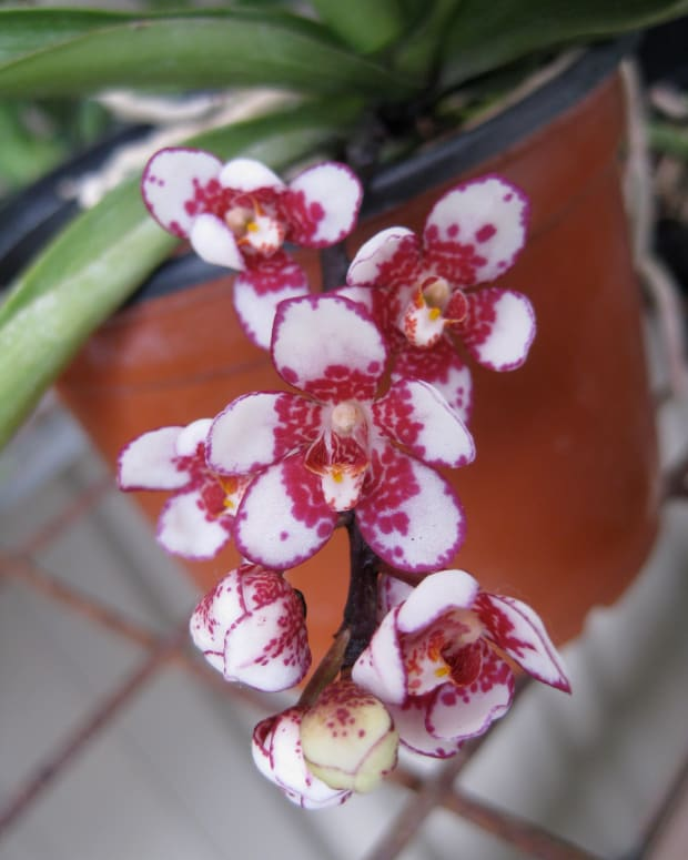 spectacular-flowering-and-easy-to-grow-the-sarcochilus-orchid