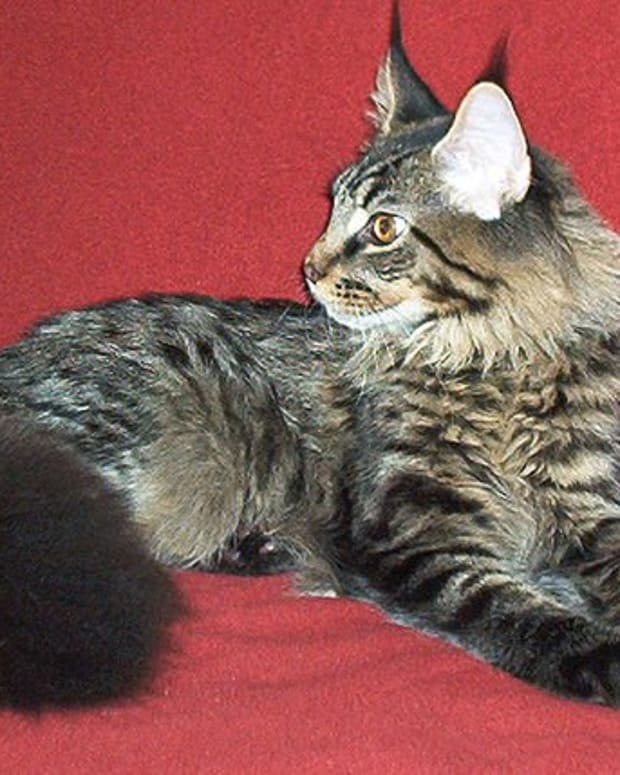 maine-coon-cats-health-problems