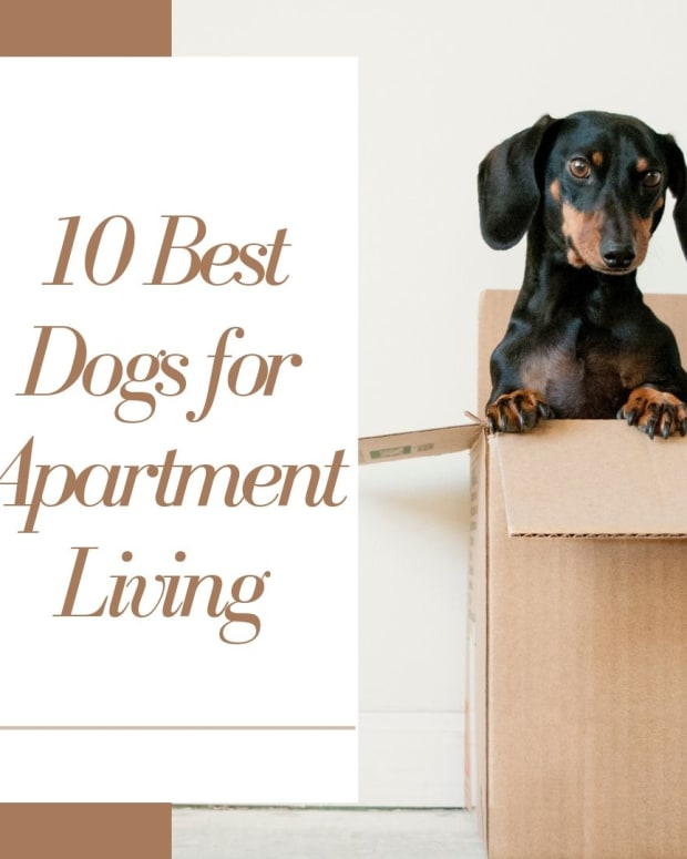 top-10-best-dog-breeds-for-apartment-living