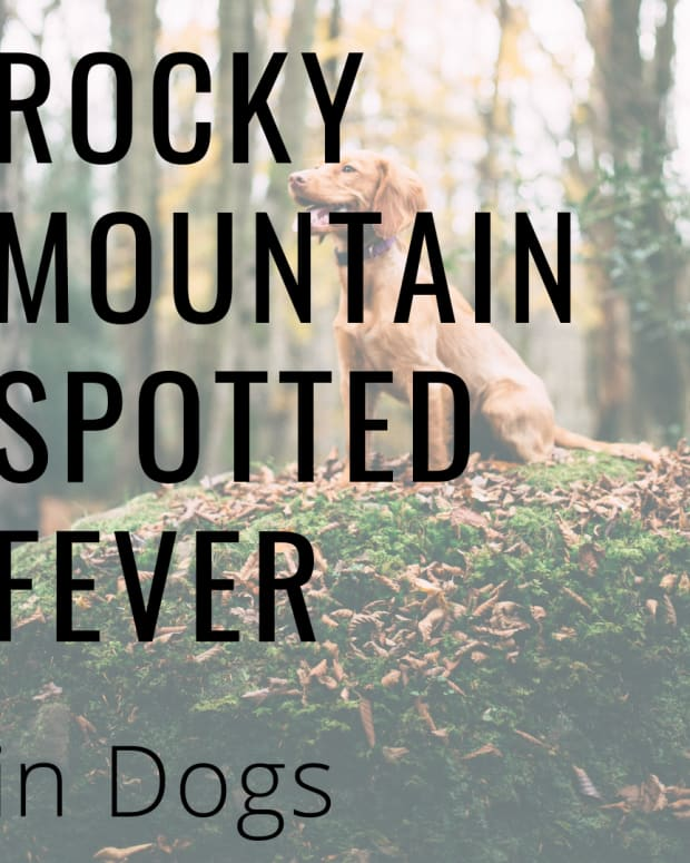 rocky-mountain-fever-in-dogs-causes-symptoms-and-treatment