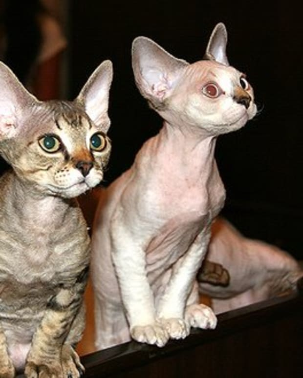 devon-rex-cats-best-choice-for-a-playful-and-vocal-cat