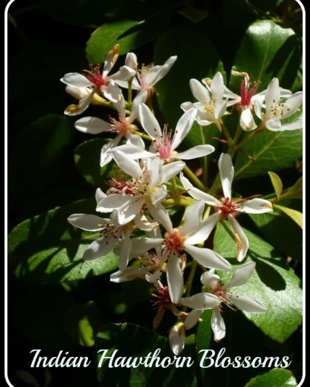 indian-hawthorne-drought-resistant-evergreen-flowering-shrubs