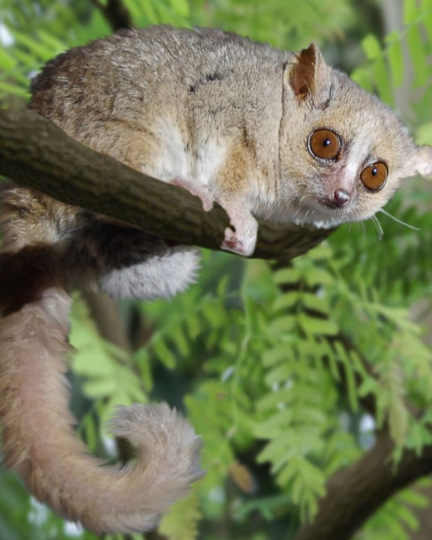 mouse-lemurs-tiny-endangered-primates-of-madagascar