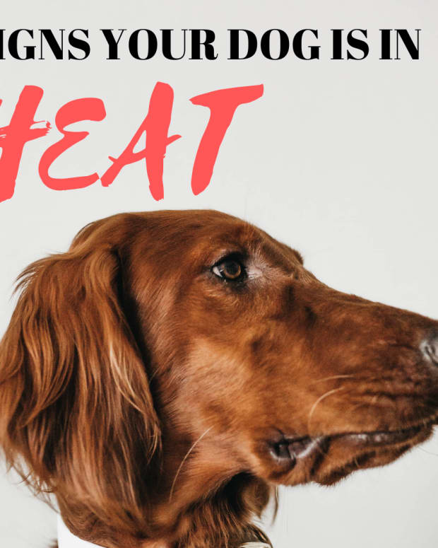 -how-to-tell-when-a-dog-is-in-heat-and-how-to-prevent-pregnancy