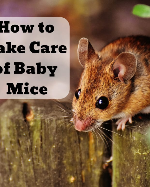 how-to-care-for-baby-mice