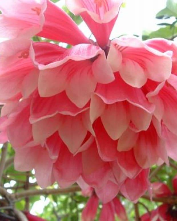 australian-native-plant-profile-fraser-island-creeper-tecomanthe-hillii