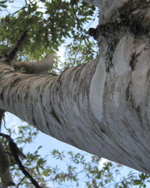 soap-tree-alphitonia-excelsa-red-ash