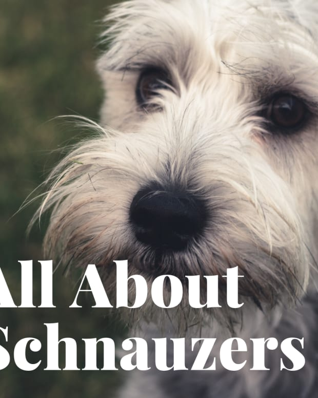 how-to-enjoy-your-schnauzer-and-eliminate-problems